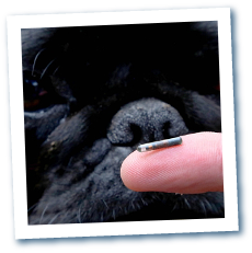 microchipping a dog - our microchips are small
